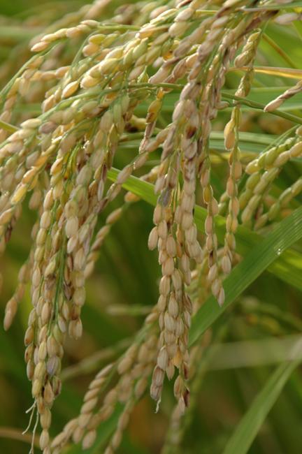 田植えから130日目の稲の成長