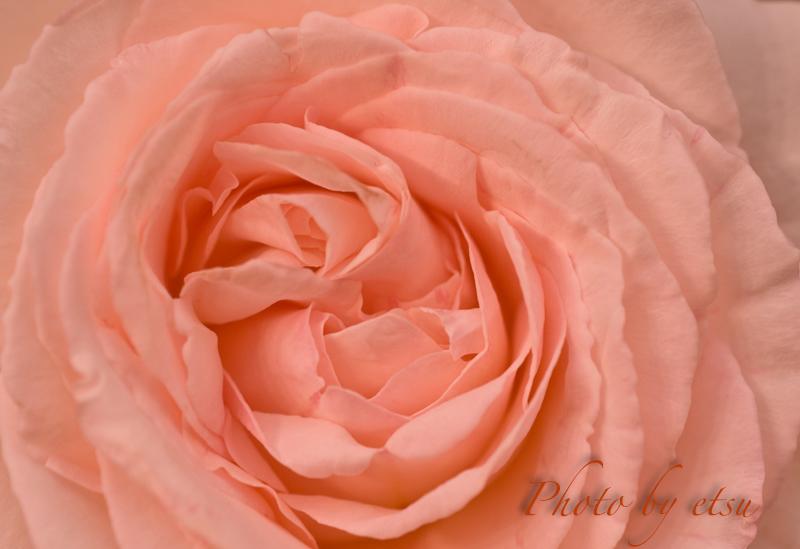 複雑な花弁の重なり・・・
