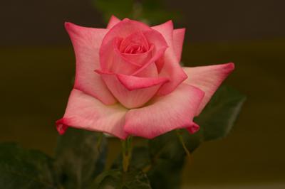 一輪の部・最優秀のバラ