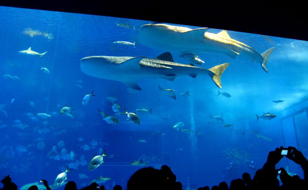 巨大ジンベイザメ