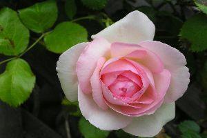 花言葉は静かな愛