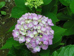 紫陽花(6月18日