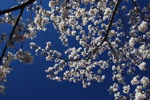 花の命は短くて・・・ 花吹雪とともに散っていきました。