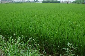 田植えから65日目の稲