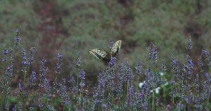 遅咲きラベンダーとアゲハチョウ