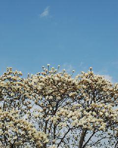 青い空とこぶしの花