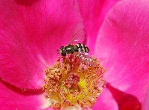 甘い香りに誘われたミツバチ