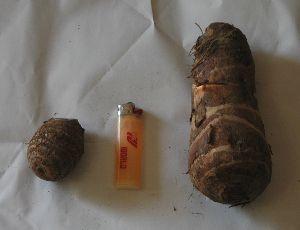 海老芋と里芋の大きさ比較
