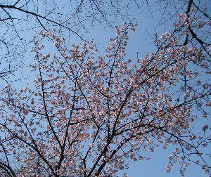 上野公園の寒桜2008.3.4