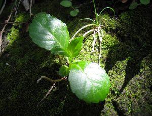 岩場の若木