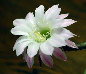 サボテンの花・・・一日だけの命です。。。