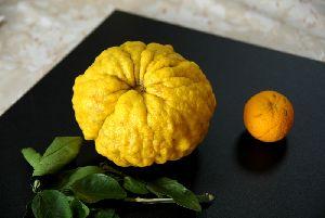 赤ちゃんの頭ほどもある獅子柚子、となりは普通の柚子