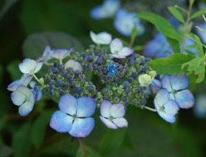 額紫陽花・・・中央の小さいのがお花です
