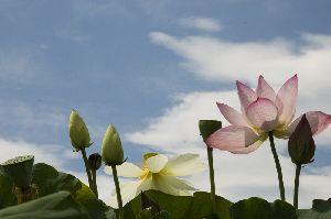 空に向かって咲く蓮の花たち