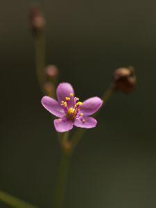 午後三時過ぎに咲くことから三時花という名前がつきました