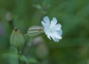 屈斜路湖畔に咲く花
