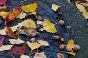 秋色の枯葉とぎんなん