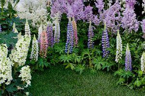 個性的な花、カシワバアジサイとルピナス
