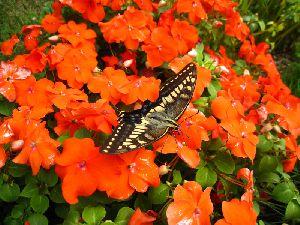アゲハ蝶は赤い花が好き!