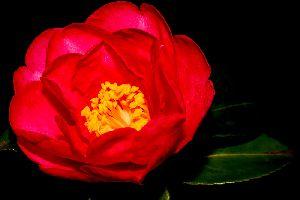 真冬の花・寒椿