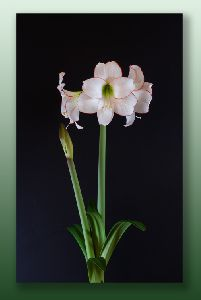 白いアマリリス(ピコティー)