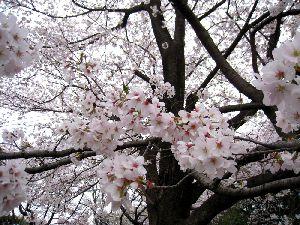 岩槻公園の満開の桜(20111.4.10)