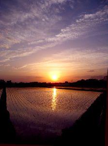 水田に映る夕陽