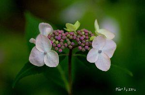 桃色山紫陽花
