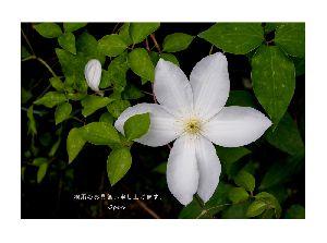 白いテッセンの花