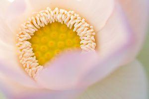 蓮の花の開く時