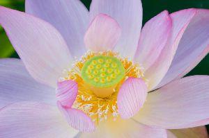 満開の蓮の花 マクロレンズ使用