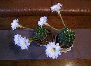 サボテンの花が一度に6本も咲きました
