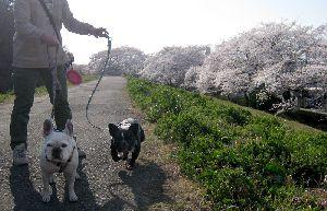 満開の桜とフレンチブルドック 2012.4.9