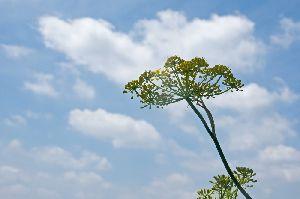 空に向かうフェンネルの花