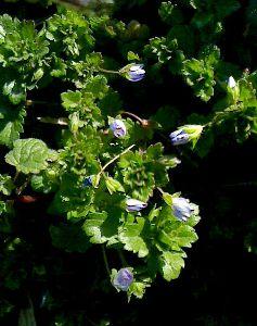 日だまりの中で咲くオオイヌノフグリ