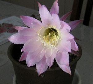 2013.6.13 早朝に開花