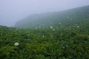 礼文島 桃岩付近に咲く高山植物
