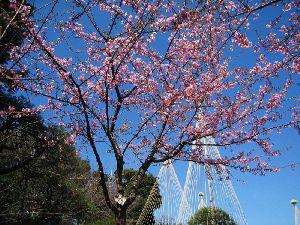 満開の河津桜 2014.3.4 椿山荘の庭園にて撮影