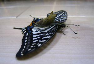 羽化に失敗したアゲハ蝶 2014.3.2撮影
