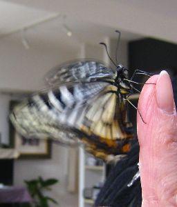 羽ばたきの練習(羽化に失敗したアゲハ蝶 2014.3.12)