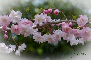 八重桜 2014.4.2撮影