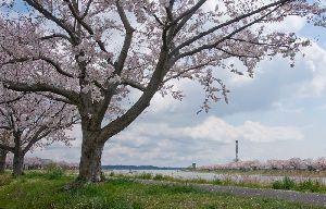 2014.4.6 茨城県土浦の桜川