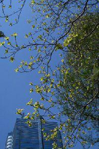 花水木と4月の空