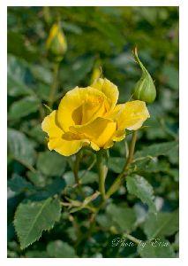 黄色い薔薇・・・名前はフリージアです