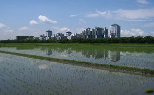 稲が元気に成長しています