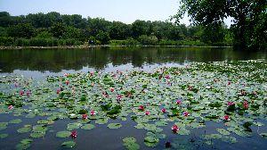 見沼自然公園の睡蓮池 20014.5.31