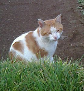 野良猫ミーチャン(2014.8.16)