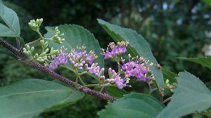 紫式部の花