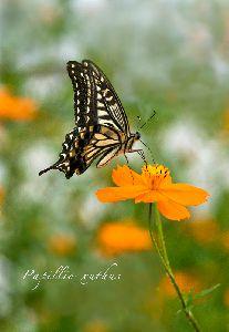 黄花コスモスで吸蜜するアゲハ蝶