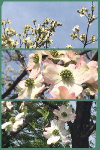 満開の花水木